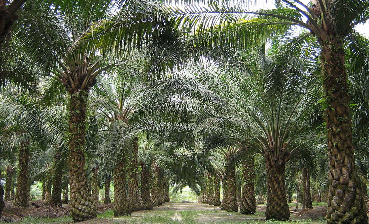 Plantations de cocoteraies