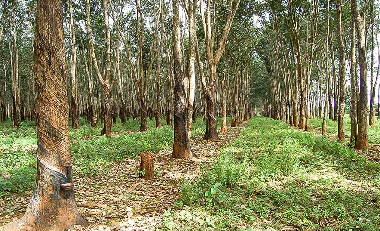 Plantations d'heveas