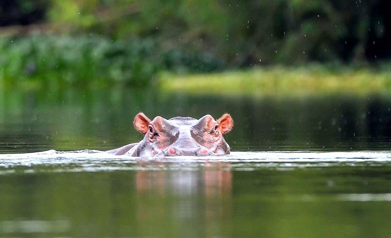 Les hippopotammes de Taibocien