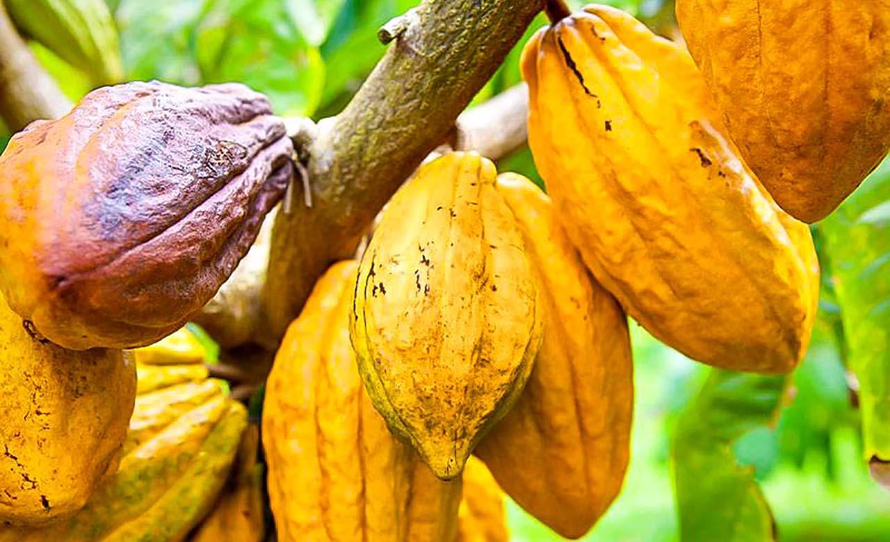Cacoa en Cote dIvoire