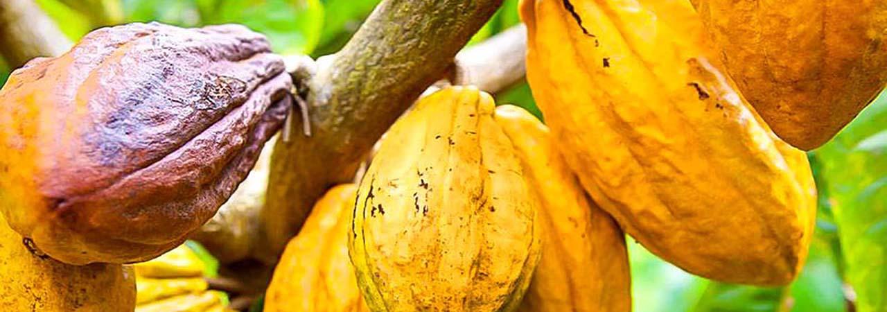 Cacoa en Côte d'Ivoire